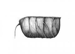 RitterspornSamenkapsel/Delphinium Seed Pod (Delphinium). Kugelschreiber Zeichnung/Ballpoint Pen Drawing, A3, 2003