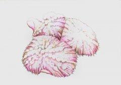 Scheibenanemone-discosoma-species-13-25082004.jpg