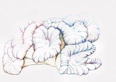 Wurstkoralle-Dobophyllia-hemptichi-18052004.jpg